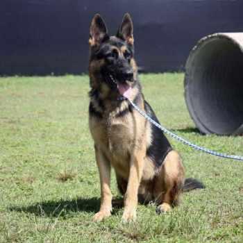 German Shepherd Police Training