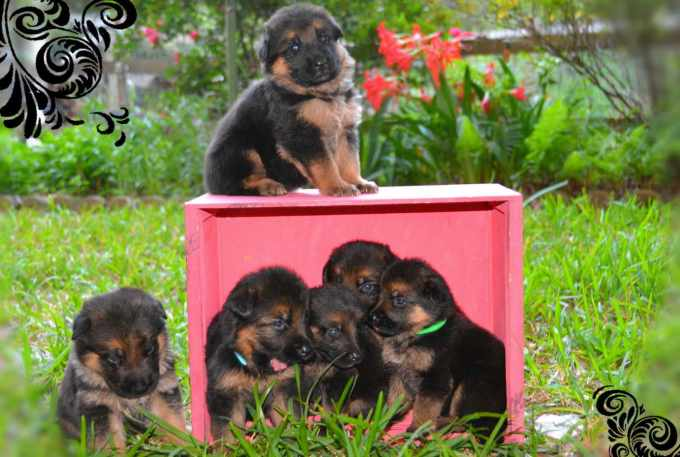 German Shepherd Puppies Adoption Houston