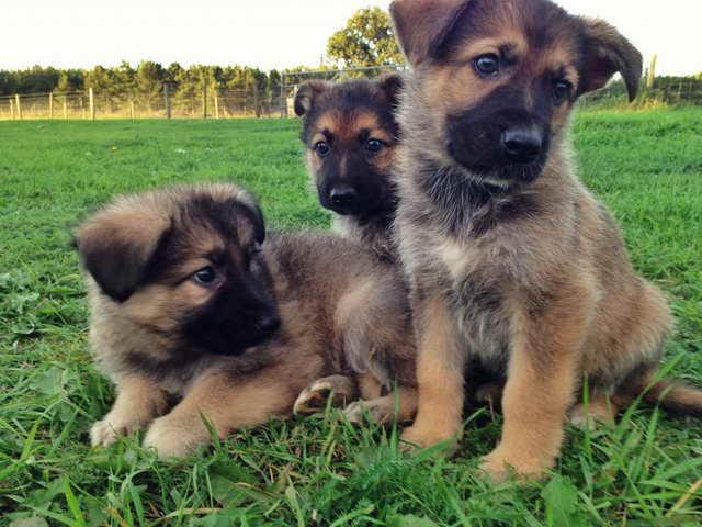 German Shepherd Puppies Adoption