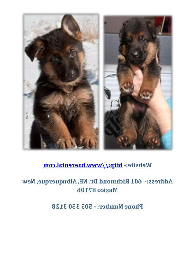 German Shepherd Puppies Albuquerque
