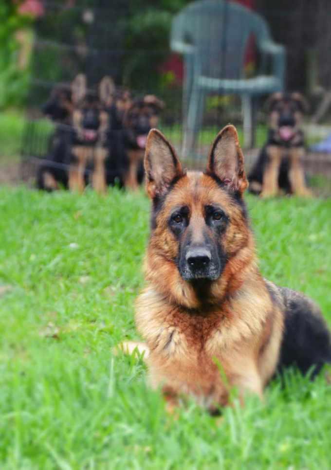 German Shepherd Puppies Austin Tx