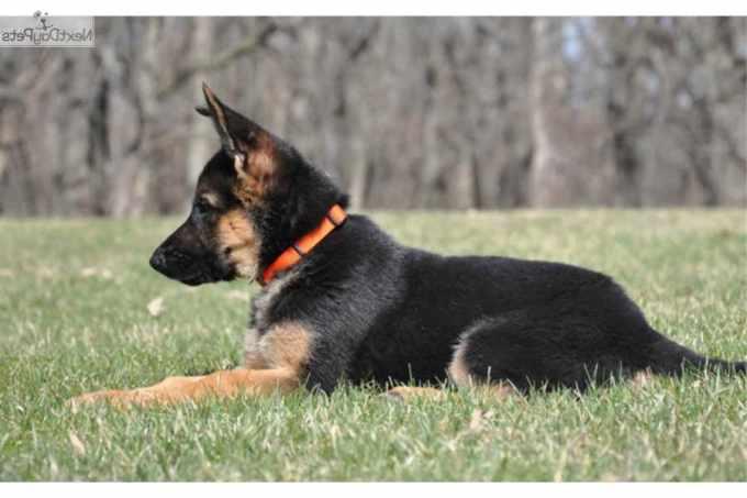 German Shepherd Puppies Baton Rouge