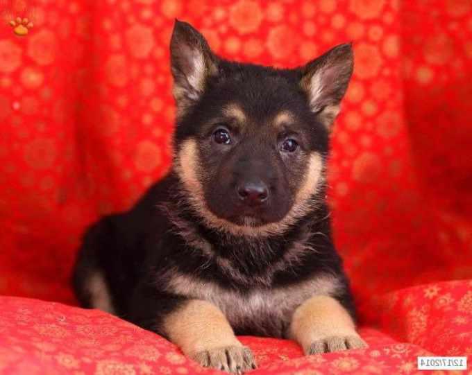 German Shepherd Puppies Canton Ohio