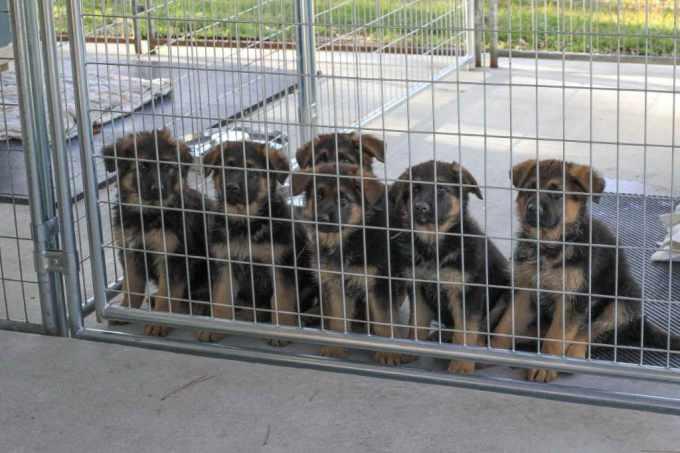 German Shepherd Puppies Central Florida