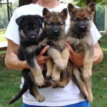 German Shepherd Puppies Charlotte Nc