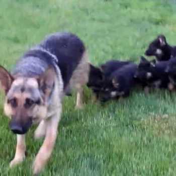 German Shepherd Puppies Columbus Ga
