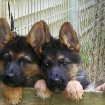 German Shepherd Puppies Connecticut