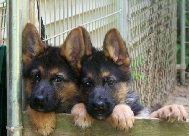 German Shepherd Puppies Connecticut