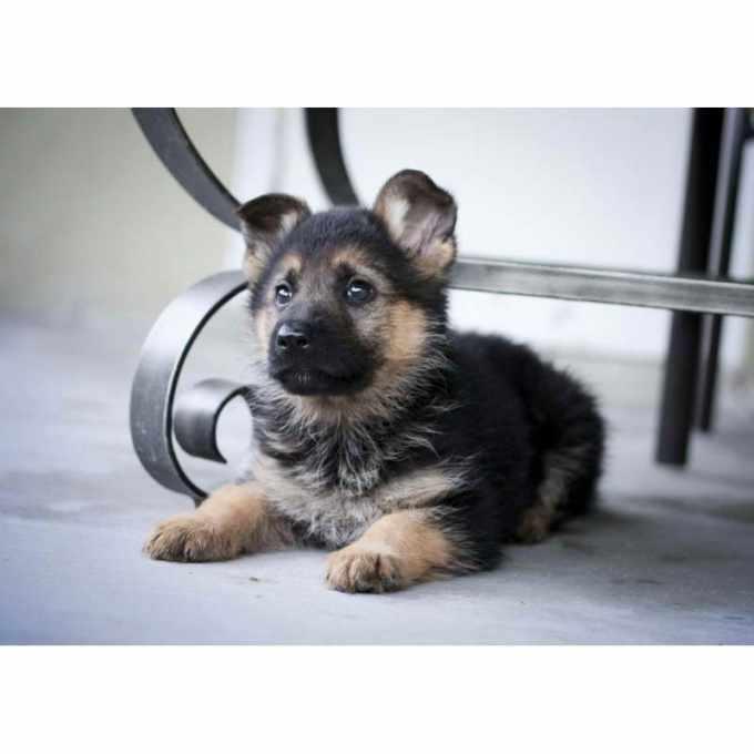 German Shepherd Puppies Cost