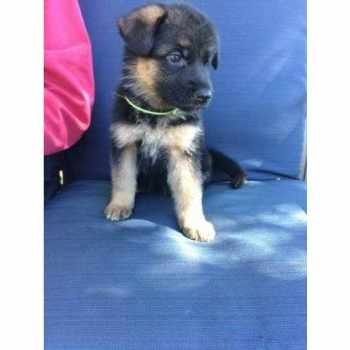 German Shepherd Puppies El Paso Tx