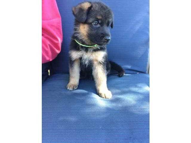 German Shepherd Puppies El Paso Tx