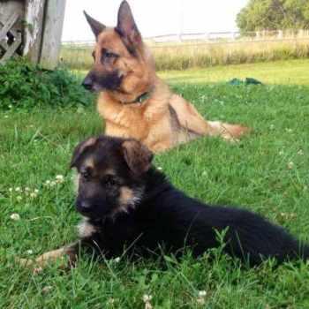 German Shepherd Puppies Evansville Indiana
