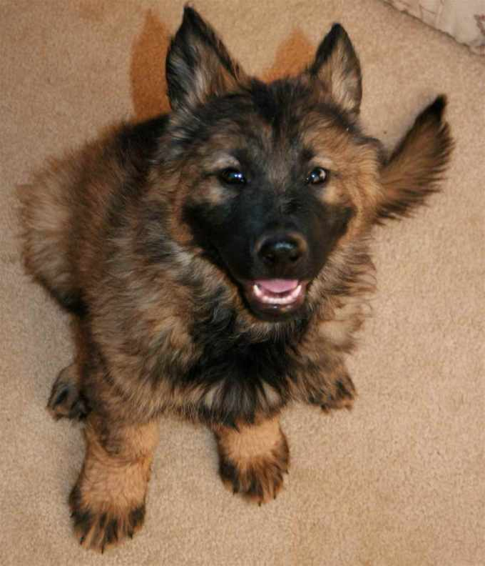 German Shepherd Puppies For Adoption In Az