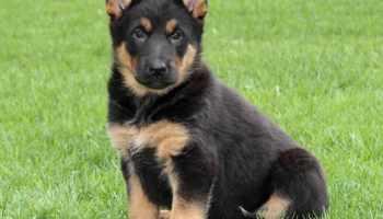 Baby German Shepherd For Sale Near Me Petsidi