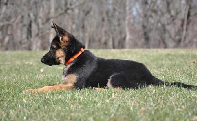 German Shepherd Puppies For Sale Il
