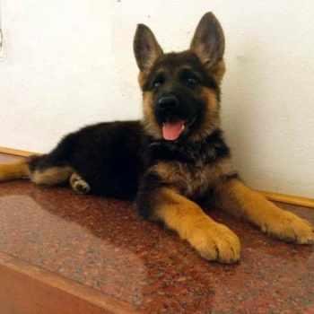 German Shepherd Puppies For Sale In California