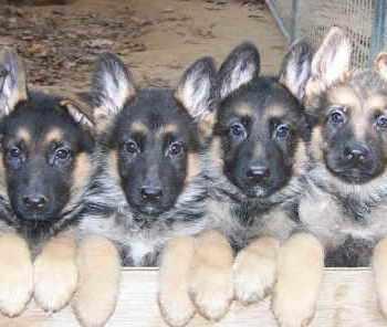 German Shepherd Puppies For Sale In Connecticut