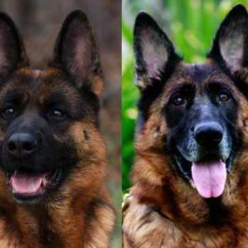 German Shepherd Puppies For Sale In Detroit Michigan