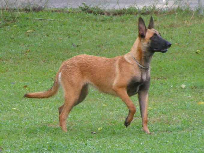 German Shepherd Puppies For Sale In Fayetteville Nc