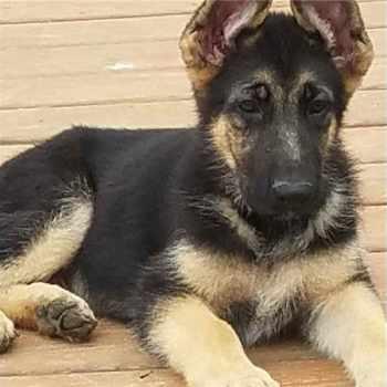 German Shepherd Puppies For Sale In Fort Worth Texas