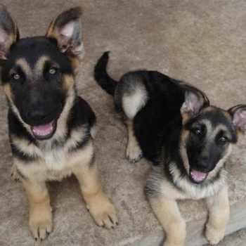German Shepherd Puppies For Sale In Fresno Ca