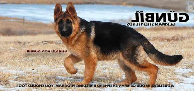 German Shepherd Puppies For Sale In Germany