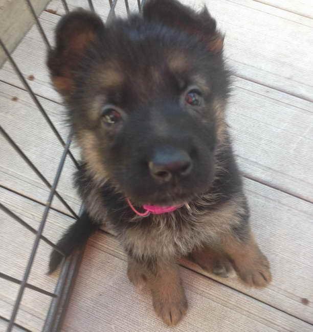 German Shepherd Puppies For Sale In Iowa