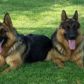 German Shepherd Puppies For Sale In Ky