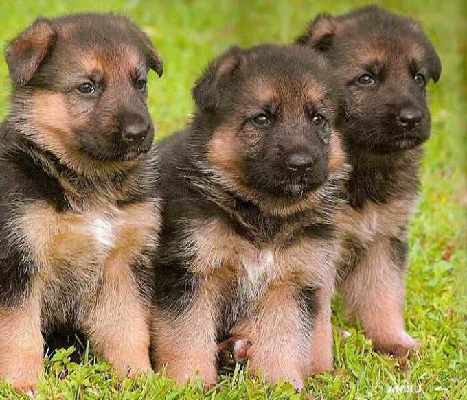German Shepherd Puppies For Sale In Long Island