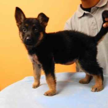 German Shepherd Puppies For Sale In Los Angeles Ca