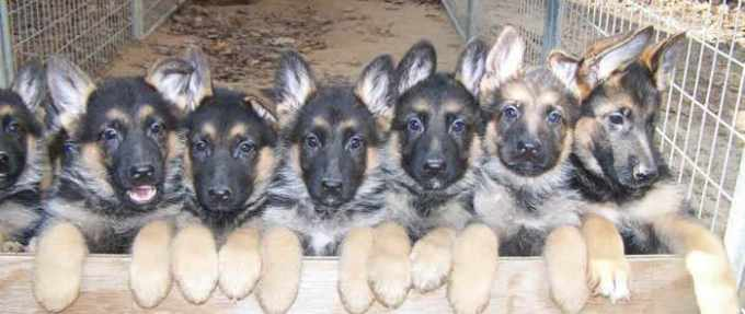 German Shepherd Puppies For Sale In New Mexico