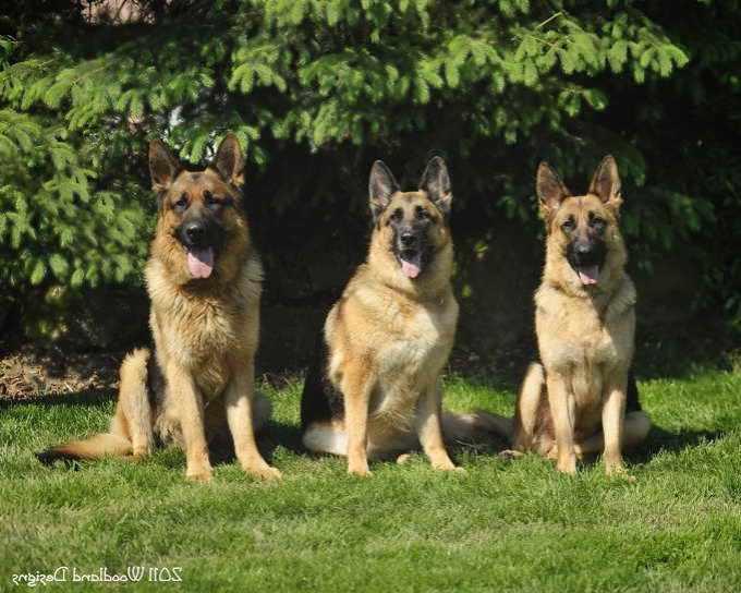 German Shepherd Puppies For Sale In Ohio