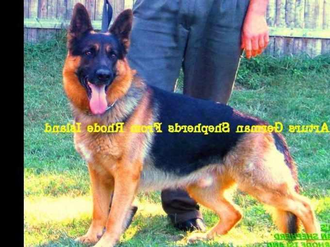 German Shepherd Puppies For Sale In Ri