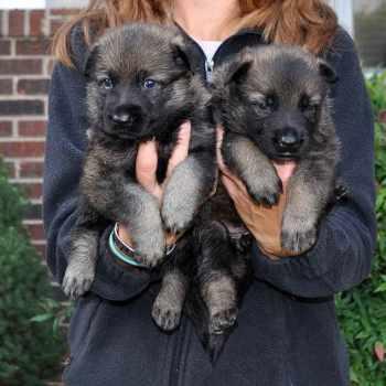 German Shepherd Puppies For Sale In Richmond Virginia