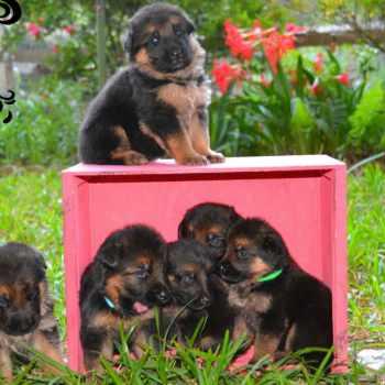 German Shepherd Puppies For Sale In San Antonio