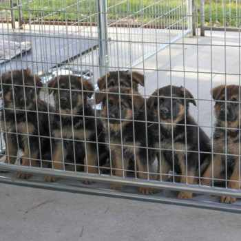 German Shepherd Puppies For Sale In South Florida