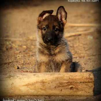 German Shepherd Puppies For Sale In Southern California