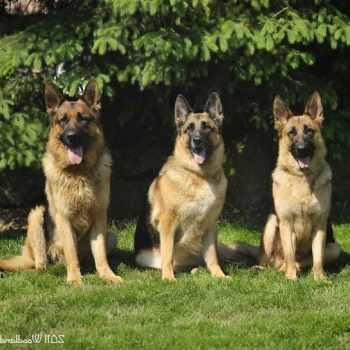 German Shepherd Puppies For Sale Ohio