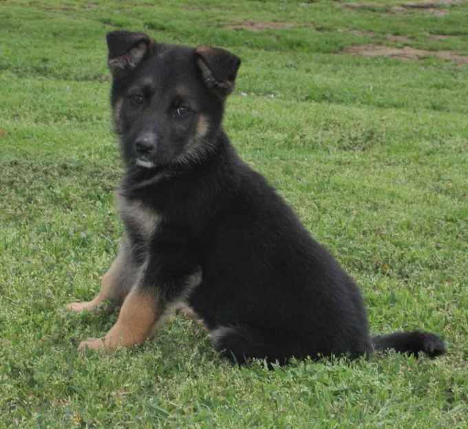 German Shepherd Puppies For Sale Oklahoma