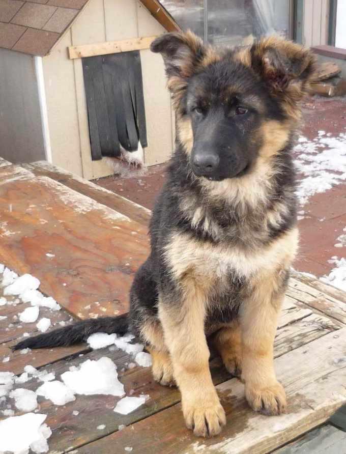 German Shepherd Puppies For Sale Wa