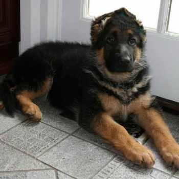 German Shepherd Puppies Gainesville Fl