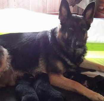 German Shepherd Puppies Hoobly
