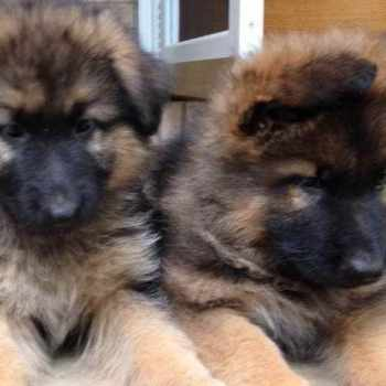 German Shepherd Puppies In Connecticut