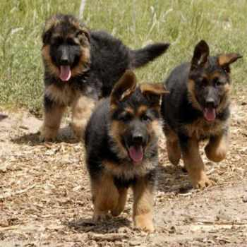German Shepherd Puppies In Ct