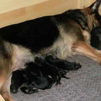 German Shepherd Puppies Ky