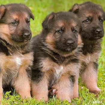 German Shepherd Puppies Long Island