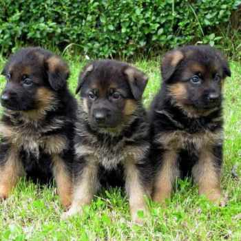 German Shepherd Puppies Memphis Tn