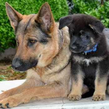 German Shepherd Puppies Nc Cheap
