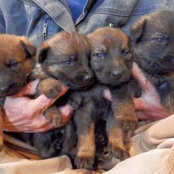 German Shepherd Puppies New Mexico