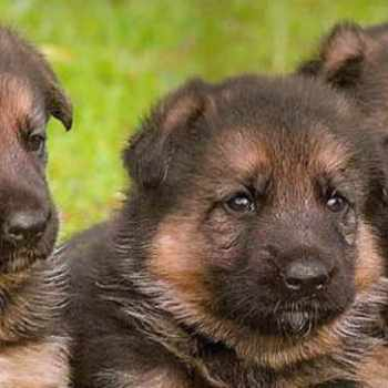 German Shepherd Puppies Nj